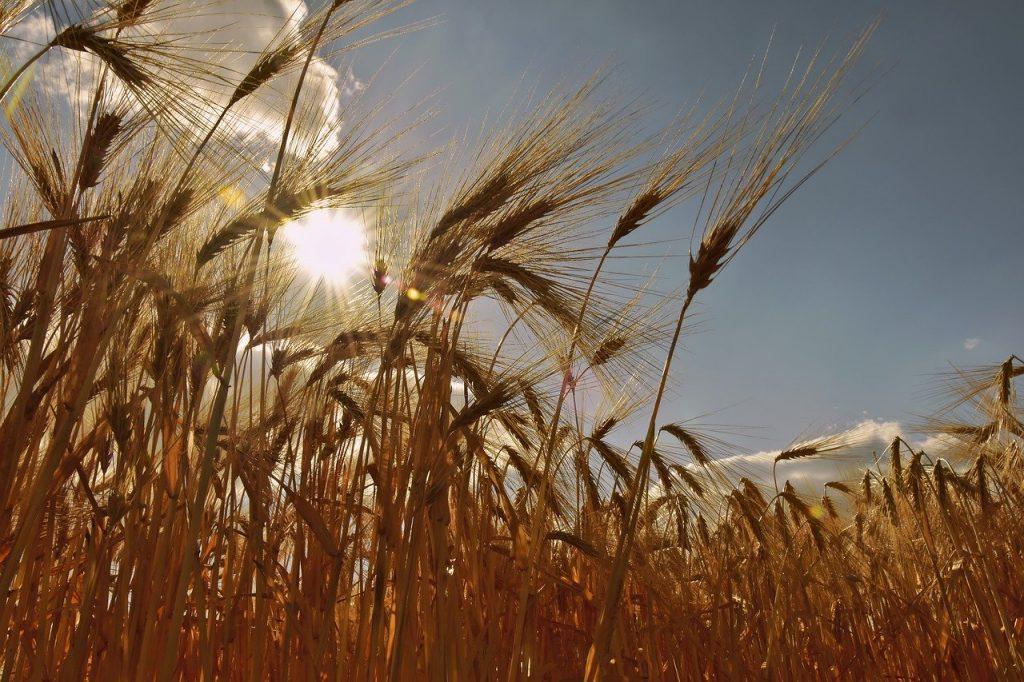 cereals, cornfield, barley