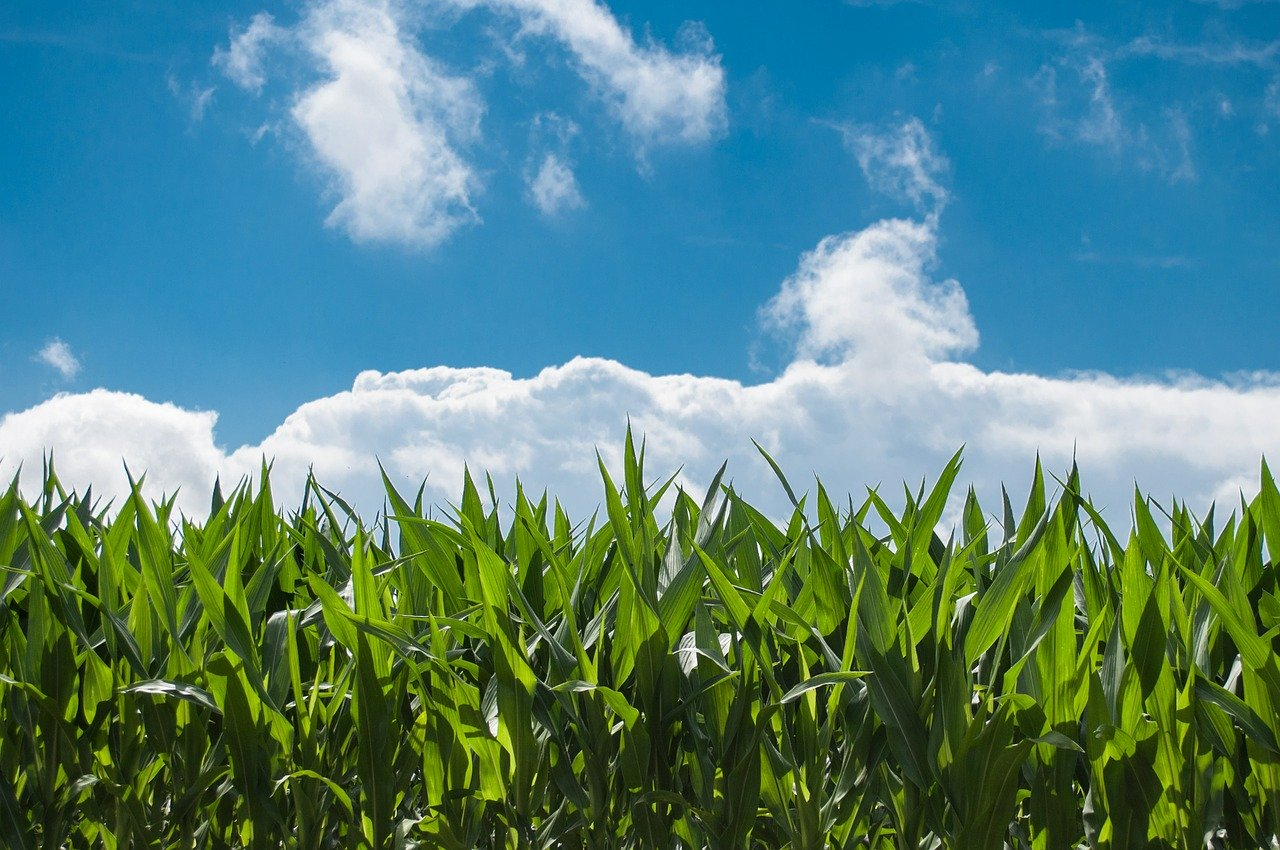 corn field, blue sky, countryside