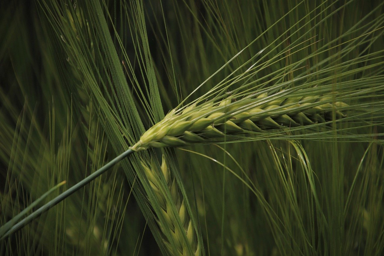 in the morning, wheat, ears