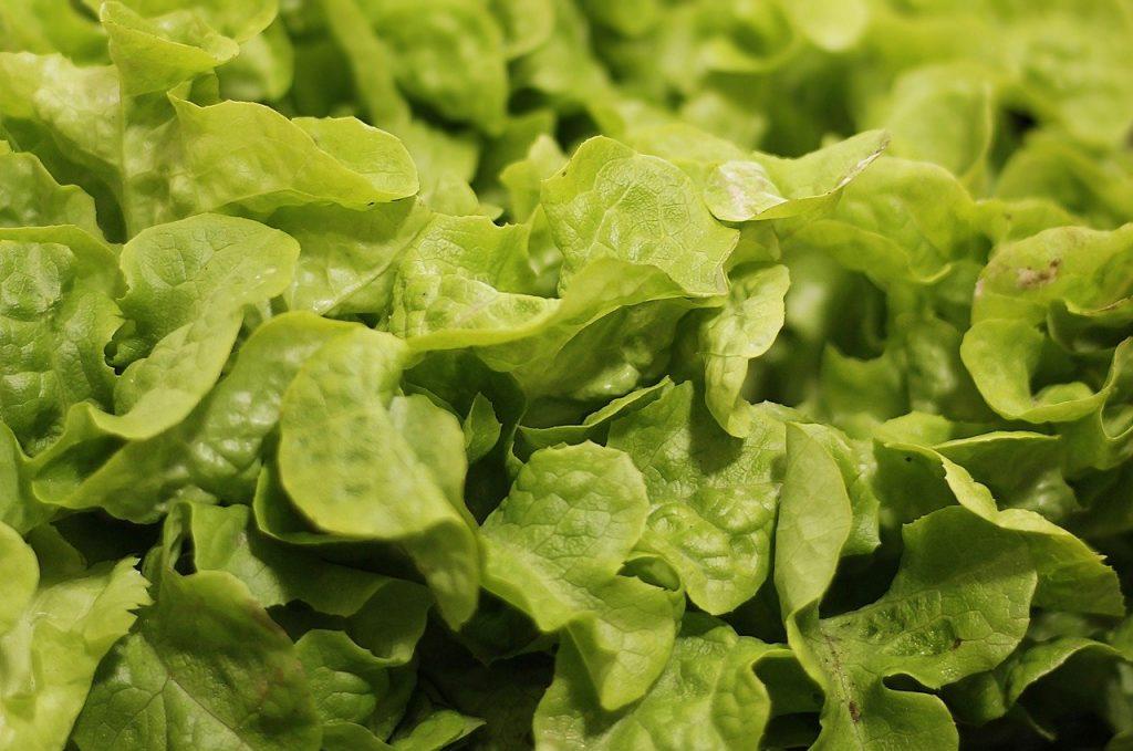 salad, salad plant, agriculture