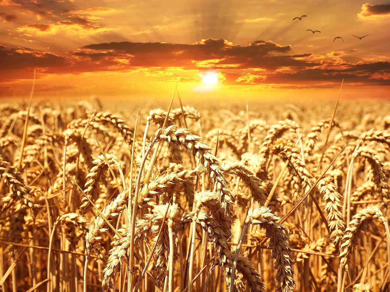 wheat, field, sunset-640960.jpg